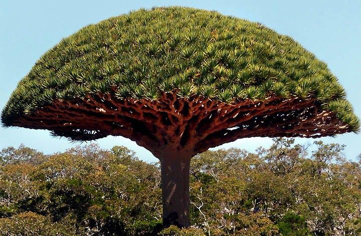 image arbre Sang du Dragon