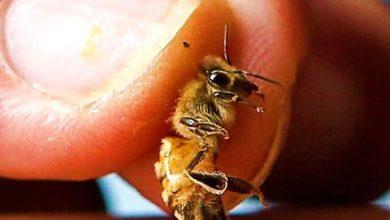Apitherapie photo abeille qui pique