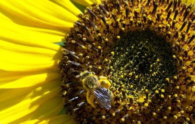 Image abeilles pollen frais